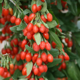 Seminte Goji Berry Ningxia NQ1 ( Fructifica Inca Din Primul An)
