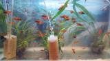 Pesti de acvariu xipho