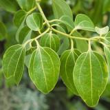 Ulei esential pur din Frunze de Scortisoara, Trio Verde, 10ml