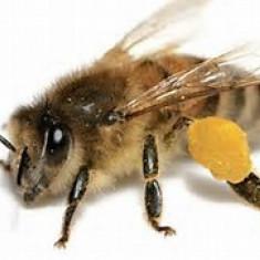20-25 familii de albine cu sau fara lada. Timisoara