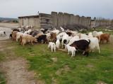 52 de capre cu iezi