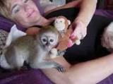 Maimuțe de capuchin de cea mai bună calitate