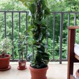 Vand planta Epipremnum