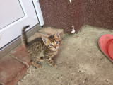 Pisici Savannah