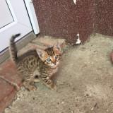 Pisici Savannah - Pisica de vanzare