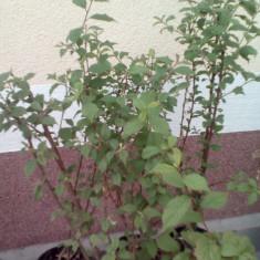 Cires naking - Cireșe din tufis- Prunus tomentosa