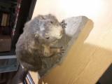 Marmota de munte pe soclu de piatra