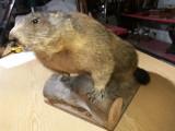Marmota de munte pe soclu de lemn