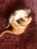 Dau spre adoptie 2 puiuti de pisica foarte jucausi si dragalasi