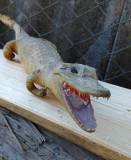 Crocodil pui impaiat decor