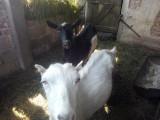 2 capre : una albă,una neagră.