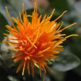 Carthamus tinctorius - Șofrănel - colorant natural 100  seminte