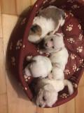 Puiuti bichon