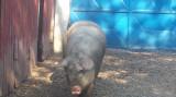 2 porci albi de 150kg bucata