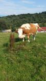 Vaci Angus