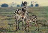 Vedere color, 105 x 148 mm, scrisa, necirculata,  zebre, Africa, circa 1976, Fotografie