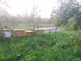 Vand Familii albine cu sau fara stupi