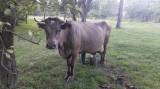 Vaca de lapte, gestanta