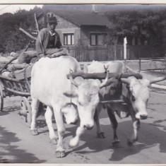 bnk foto - Car cu boi pe Valea Doftanei - 1964