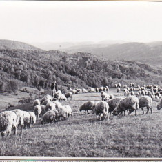 bnk foto - Lot 4 fotografii turme de oi pe Vale Prahovei 1964