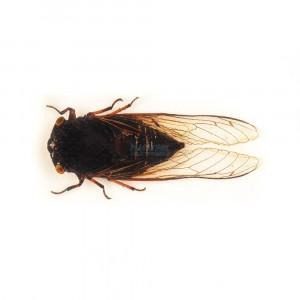 Insecte reale nr. 9 - Cicada neagra tropicala
