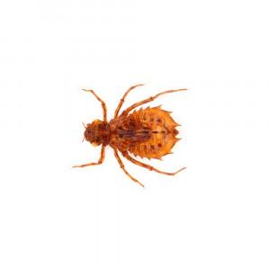Insecte reale nr.49 - Libelula de culoarea fildesului