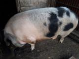 Vand porci crescuti cu cereale