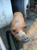 Porci mangalita (ecologic)