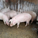 Porci de vânzare + ofer acte pentru transportul carnii !!!