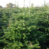 Bradul-simbol al vieţii şi al Crăciunului+cadou-3 pomi columnari la ghiveci