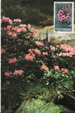 Flori-Bujor de munte-Parang-maxima