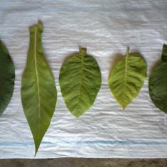 Seminte tutun tipuri orientale