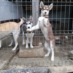 Câini huskey siberian