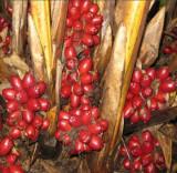 Amomum Tsaoko CARDAMON NEGRU codiment si planta medicinala - 50 seminte
