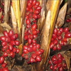 Seminte rare de Amomum Tsaoko CARDAMON NEGRU codiment si planta medicinala