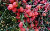 Seminte rare de Ephedra Sinica - 25 seminte
