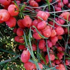 Seminte rare de Efedra sinica