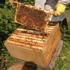50 familii de albine
