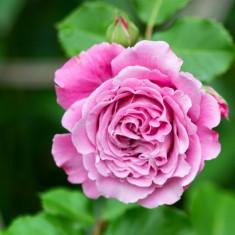 Trandafiri de Colectie Guillot