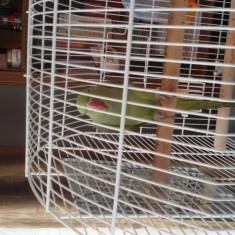 Papagal Micul Alexandru, verde, are un an