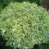 Sanger decorativ Elegantissima (Cornus alba Elegantissima)