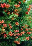 Luleaua turcului (Campsis radicans)