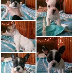 Bulldog francez - Caini