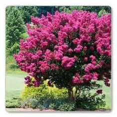 Lagerstroemia indica Rubra – liliac indian rosu