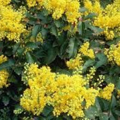 Mahonia Apollo (Mahonia aq. Apollo)