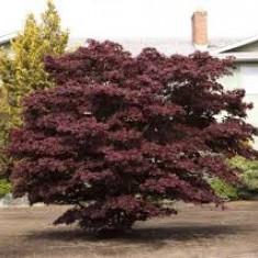 Acer palmatum atropupurea - artar japonez rosu