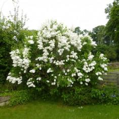 Liliac alb batut (Syringa vulg. M-me Lemoine)