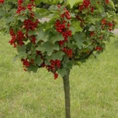 Coacaz Rondom (tulpina inalta)