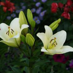 Cebulki lili dwa kwiaty w cenie jednego - Crini