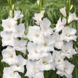 Gladiole White Prosperity Pachet 10 Bulbi